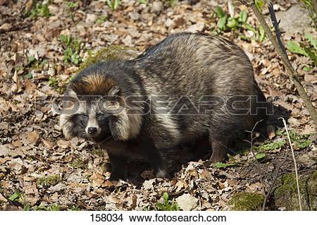 Stock Photo of Raccoon dog.