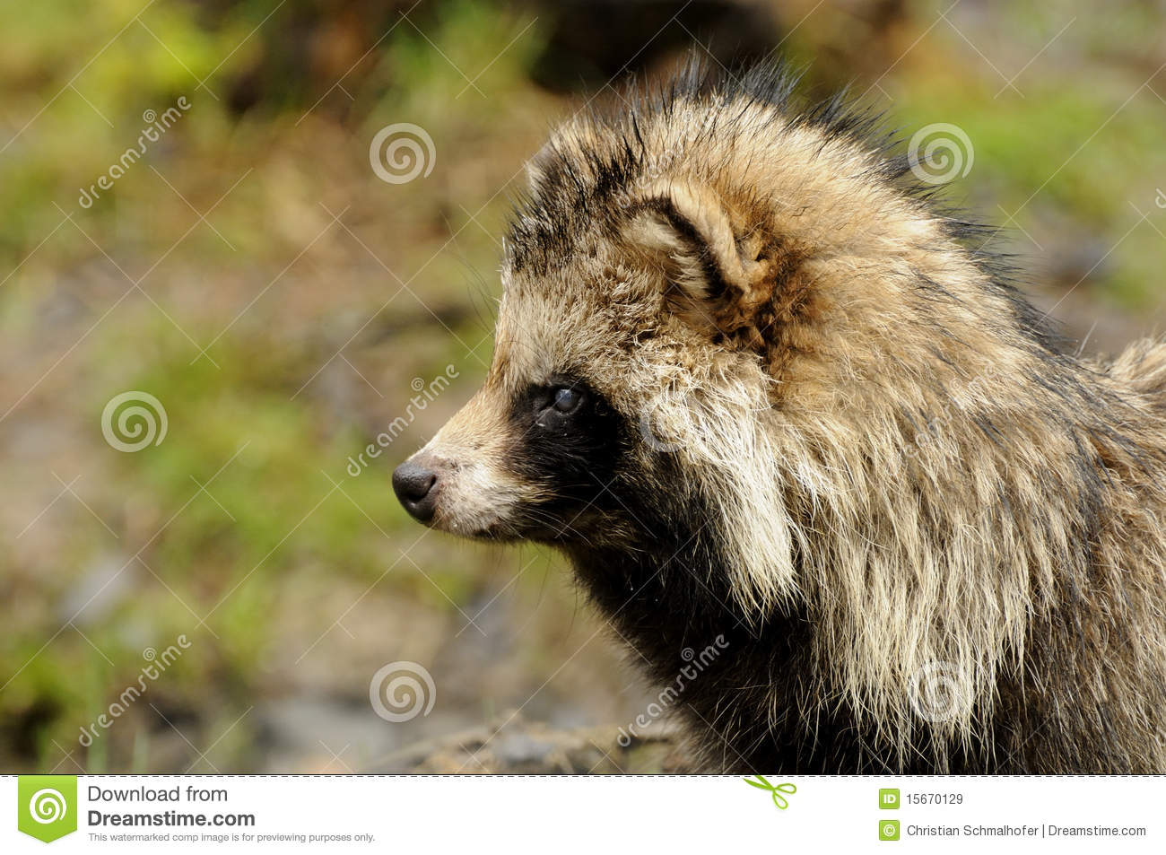 Raccoon Dog (Nyctereutes Procyonoides) Royalty Free Stock Images.