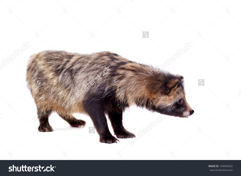 Raccoon Dog Nyctereutes Procyonoides Isolated On Stock Photo.