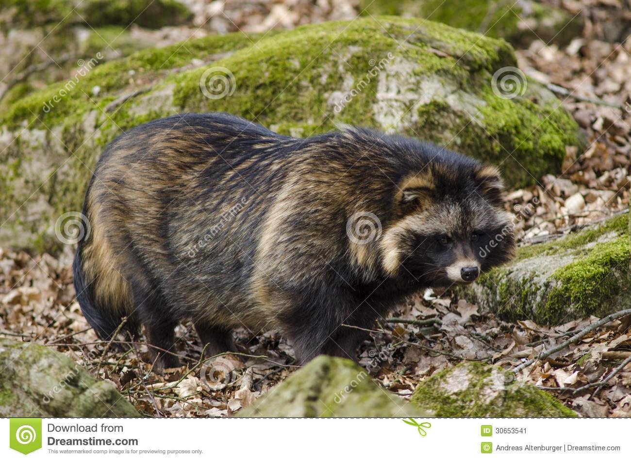 Raccoon Dog, Nyctereutes Procyonoides Stock Image.