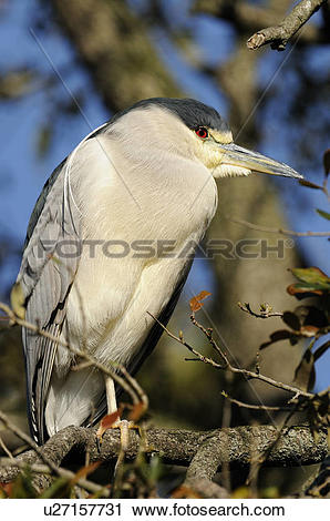Stock Photography of Black crowned night heron (Nycticorax.