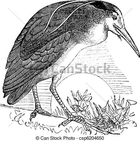 Vector Clipart of Night Heron or Nycticorax nycticorax, Bird.