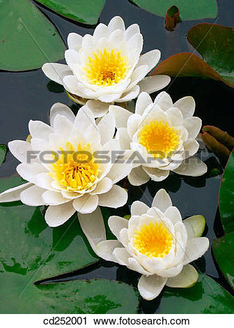 Stock Photography of Water Lilies (Nymphaea alba) cd252001.