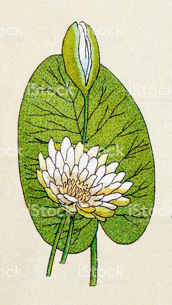White Lotus Plants Antique Illustration stock vector art 469419526.