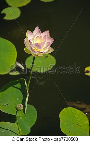 Stock Photos of White and pink waterlily (Nymphaeaceae.