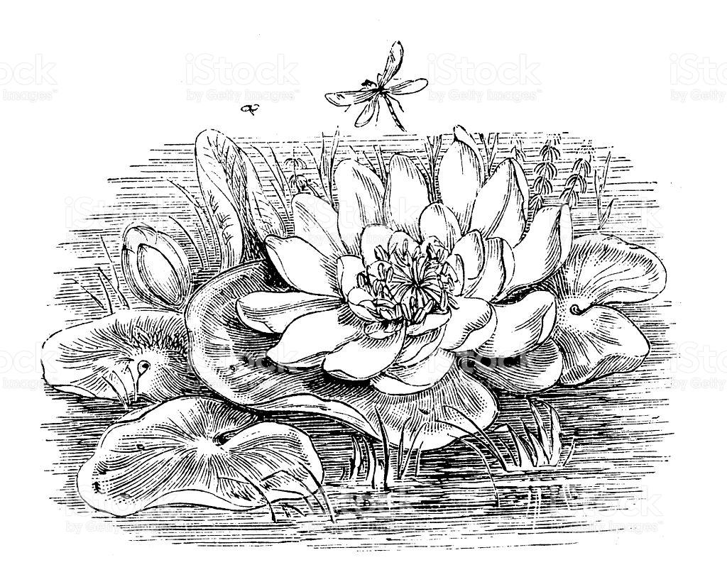 Antique Illustration Of Nymphaea Alba stock vector art 510635551.