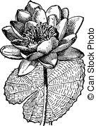 Vectors of White Lotus or Nymphaea alba, vintage engraving.