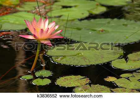 Stock Photo of Pink Water Lily (Nymphaea alba) Surrounded by Lily.