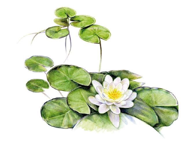 Plant illustrations.