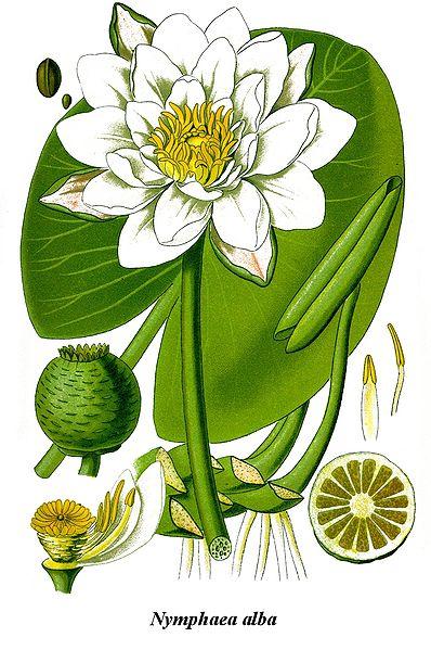 Nymphaea alba (White water.