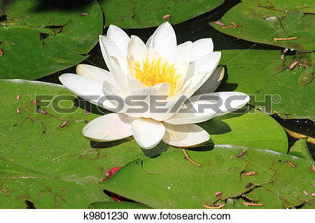 Stock Photography of White waterlily flower, Nymphaea Alba.
