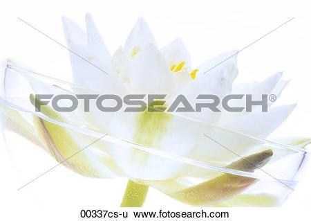 Stock Images of white lotus Nymphaea alba 00337cs.