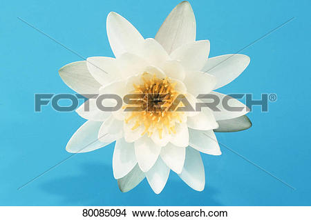 Stock Photo of DEU, 2003: White Water Lily (Nymphaea alba), flower.