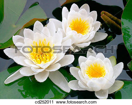 Stock Photography of Water Lilies (Nymphaea alba) cd252011.