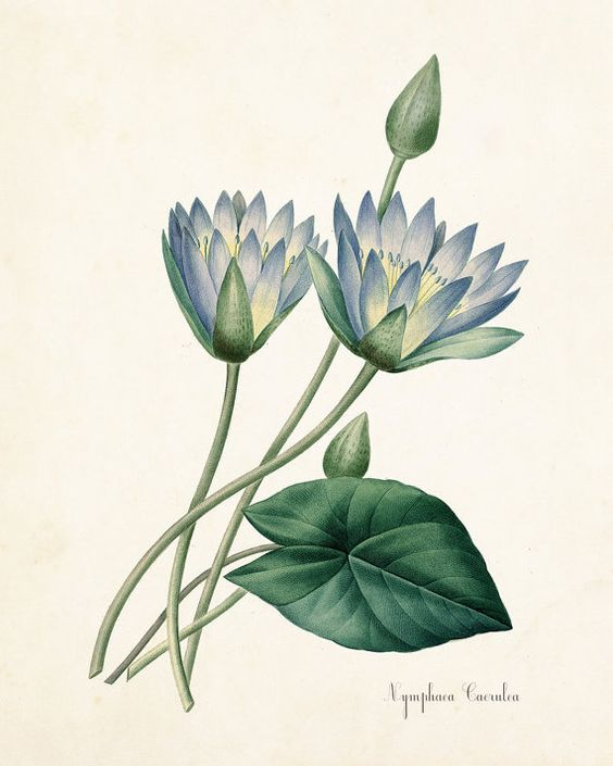 Nymphaea caerulea clipart #12
