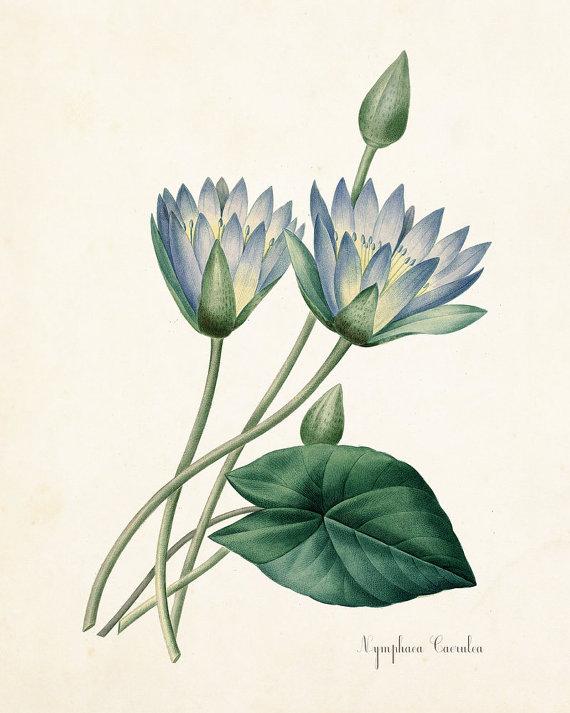 Blue Lotus Nymphaea Caerulea Botanical Print by BelleBotanica.