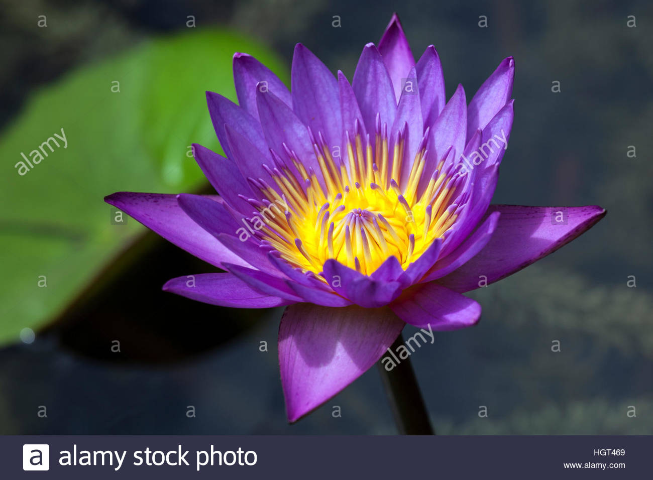 Blue Lotus, Also Blue Water Lily Or Sacred Blue Lily (nymphaea.