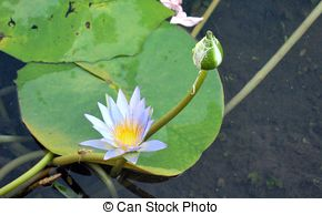 Stock Photography of Blue Lotus of Egypt.