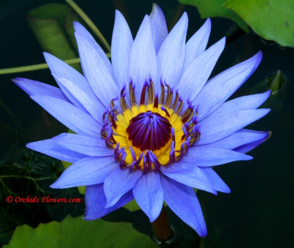 1000+ images about Nymphaea on Pinterest.