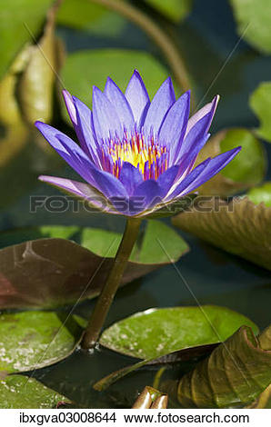 """Stock Photo of """"Blue Egyptian Water Lily or Sacred Blue Lily."""