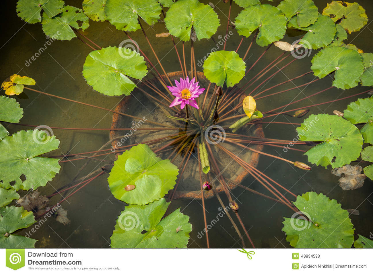 Nymphaea Caerulea Flower And Leaves In A Pond Stock Photo.