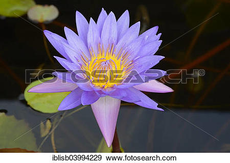 """Stock Photograph of """"Blue Lotus, water lily (Nymphaea caerulea."""