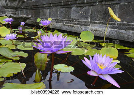 """Stock Images of """"Blue Lotus, water lilies (Nymphaea caerulea."""