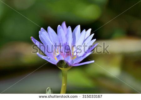 Nymphaea caerulea clipart #16
