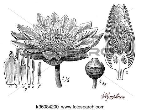Stock Illustrations of Nymphaea, botanical vintage engraving.