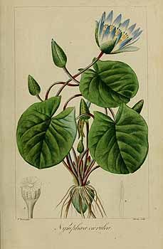 Nymphaea lotus, the Tiger Lotus, White lotus or Egyptian White.