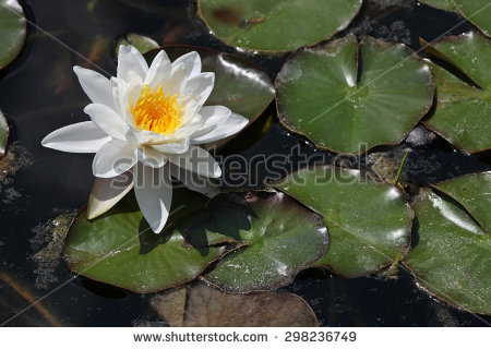 White Nymphaea Stock Photos, Images, & Pictures.