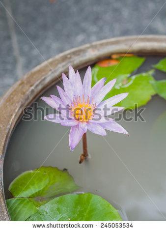 Thai Lotus Flower Dauben Scientific Name Stock Photo 245053543.