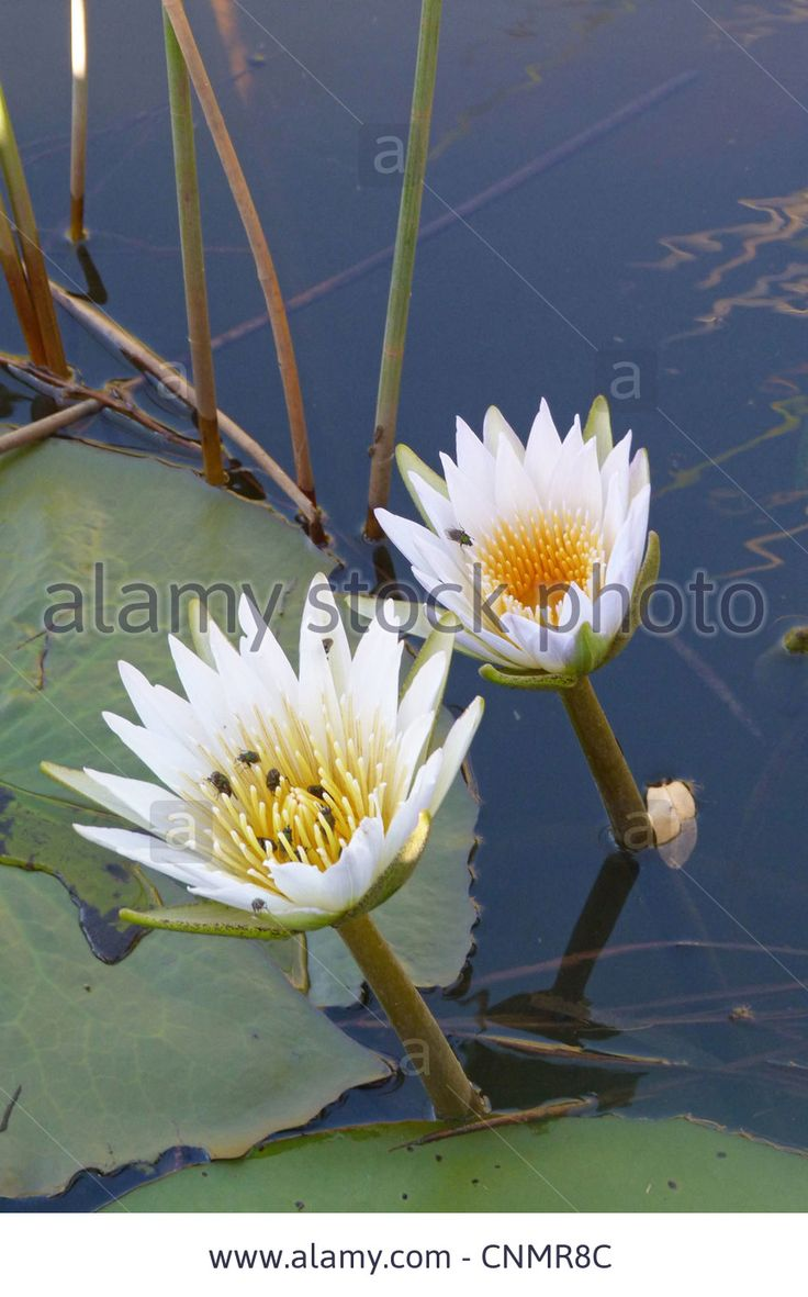 1000+ ideas about Nymphaea Lotus on Pinterest.
