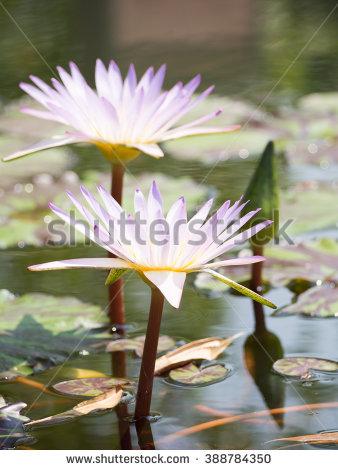 Nymphaea Caerulea Lizenzfreie Bilder und Vektorgrafiken kaufen.