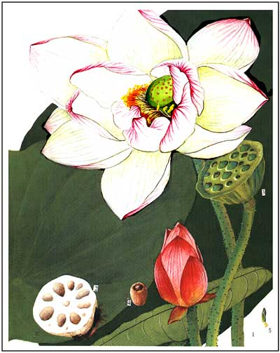 Lotus Use in Magic and Personal Growth..