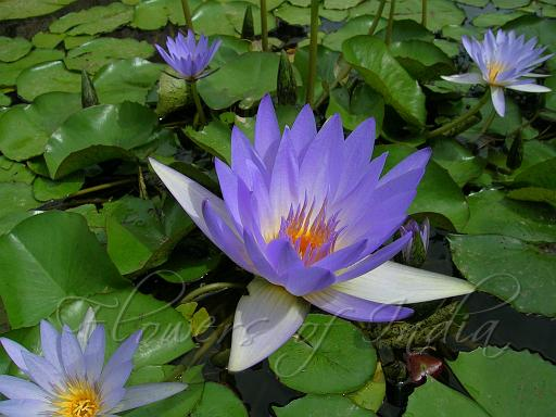 The Lotus and Water Lily.