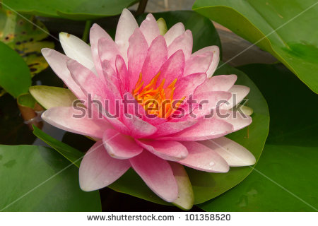 """buddha Lotus"" Stock Photos, Royalty."