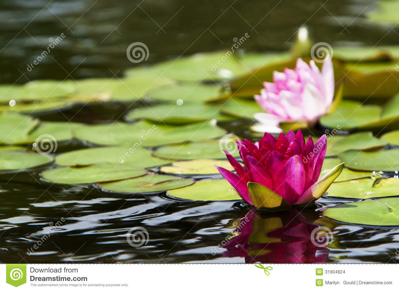 Pink Water Lilies Nymphaeaceae Stock Images.