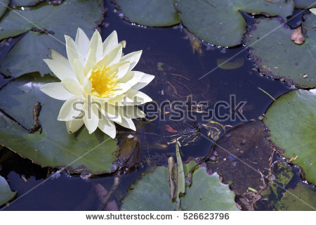 Waterlilies Stock Photos, Royalty.