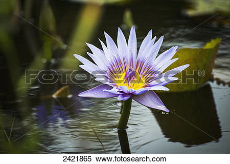 Stock Image of Water lilies (Nymphaeaceae) bloom at the Keahua.