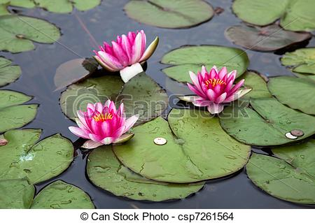Stock Photo of Water Lily (nymphaeaceae) csp7261564.