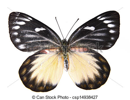 Stock Photo of Nymphalidae:Brown and white butterfly isolated.