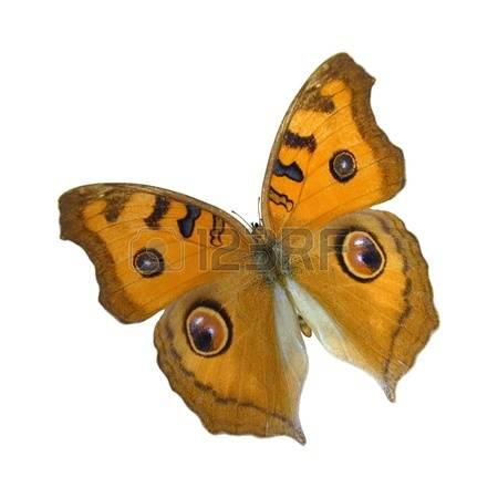 89 Nymphalidae Cliparts, Stock Vector And Royalty Free Nymphalidae.