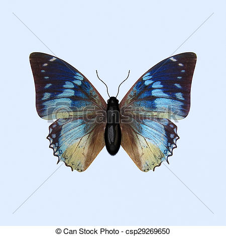 Stock Illustrations of Nymphalidae Butterfly.