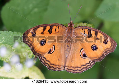 Stock Image of tropical nymphalidae butterfly k1628415.