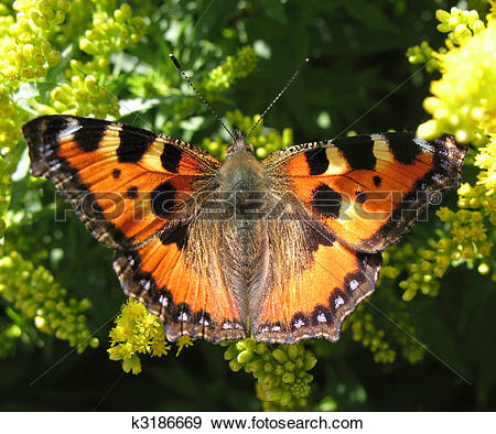 Stock Photograph of Daily Admiral butterfly (Vanessa atalanta.
