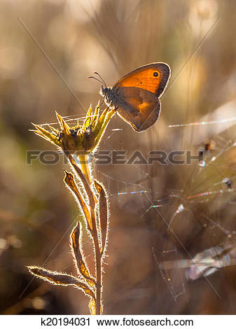 Stock Photography of Small Heath Coenonympha pamphilus is a.
