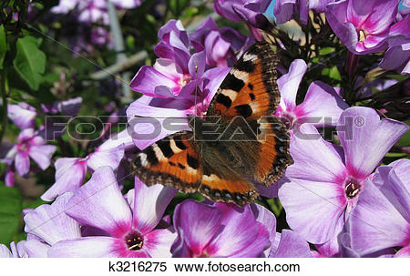 Stock Image of Daily Admiral butterfly (Vanessa atalanta), family.