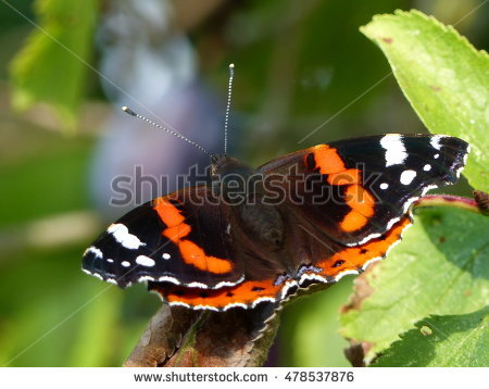 Nymphalidae Family Stock Photos, Royalty.