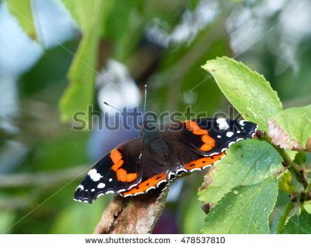 Nymphalidae Family Stock Photos, Royalty.